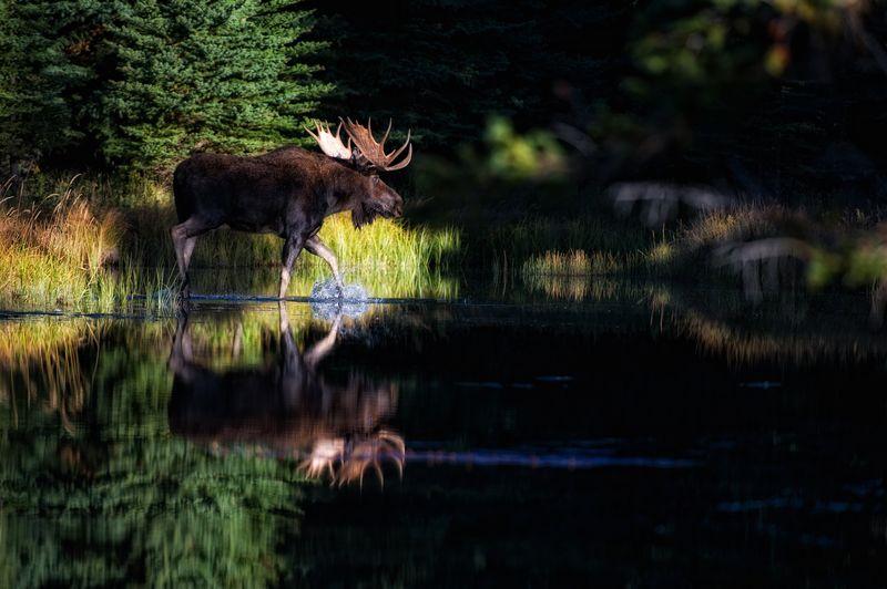 _DSC1429-Moose